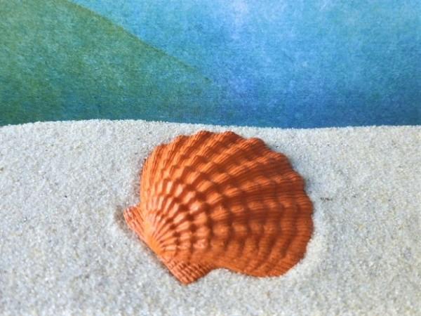 'Seashells' ... Mexikanische Fächer-Kamm-Muschel - orange