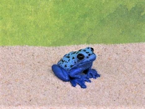 Blauer Pfeilgiftfrosch - mini