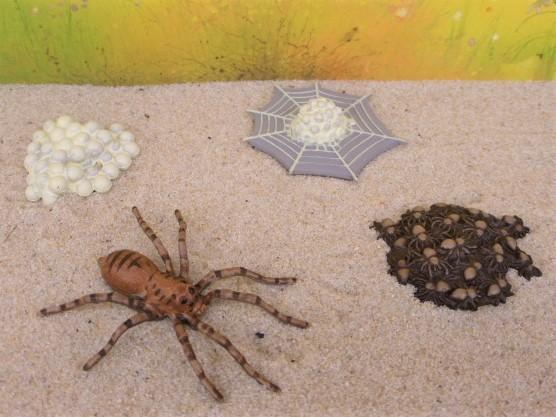 Lebenszyklus einer Spinne